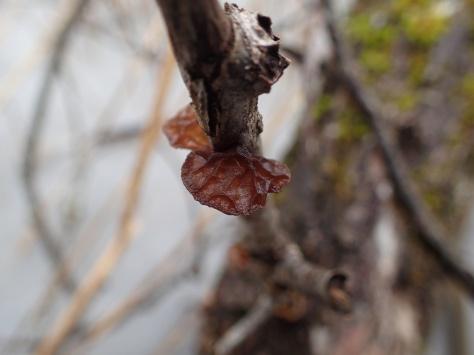Brunkrös, Tremella foliacea
