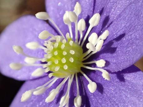 Blåsippa, Anemone hepatica