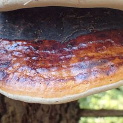 Klibbticka, Fomitopsis pinicola